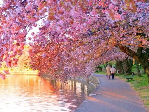 ceri, cherry Blossoms