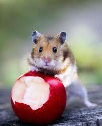 criceto, hamster fun