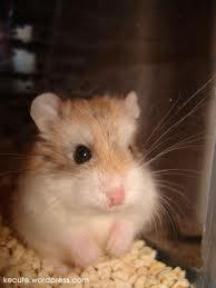 Hamsters wallpaper containing a hamster entitled hamsters