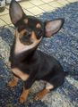 my dog, Emmett - chihuahuas photo