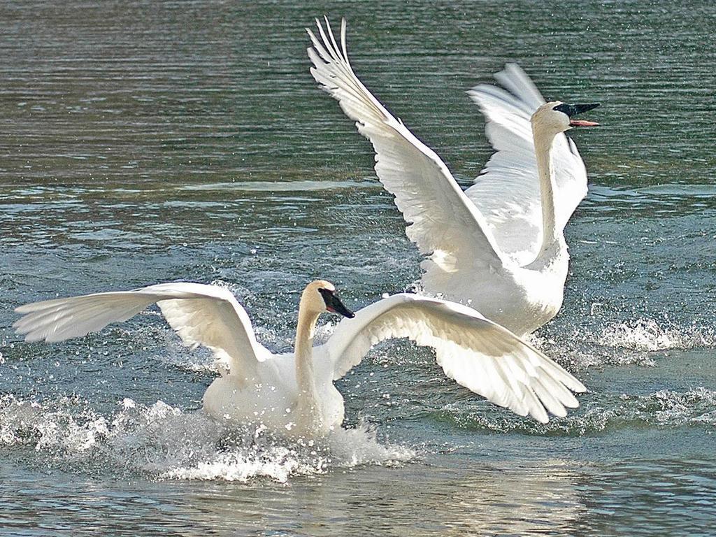 Beautiful-Swans-daydreaming-22634662-1024-768.jpg