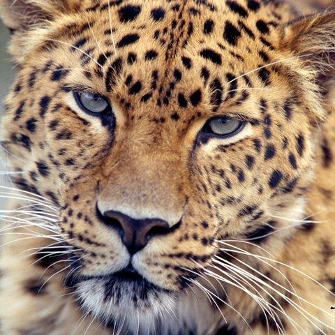 Leopardss
