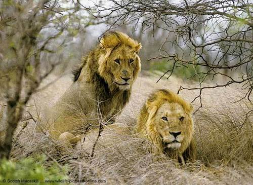 Lionss