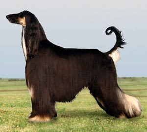 Fanpop Pets wallpaper probably containing an afghan hound entitled Rita Jean