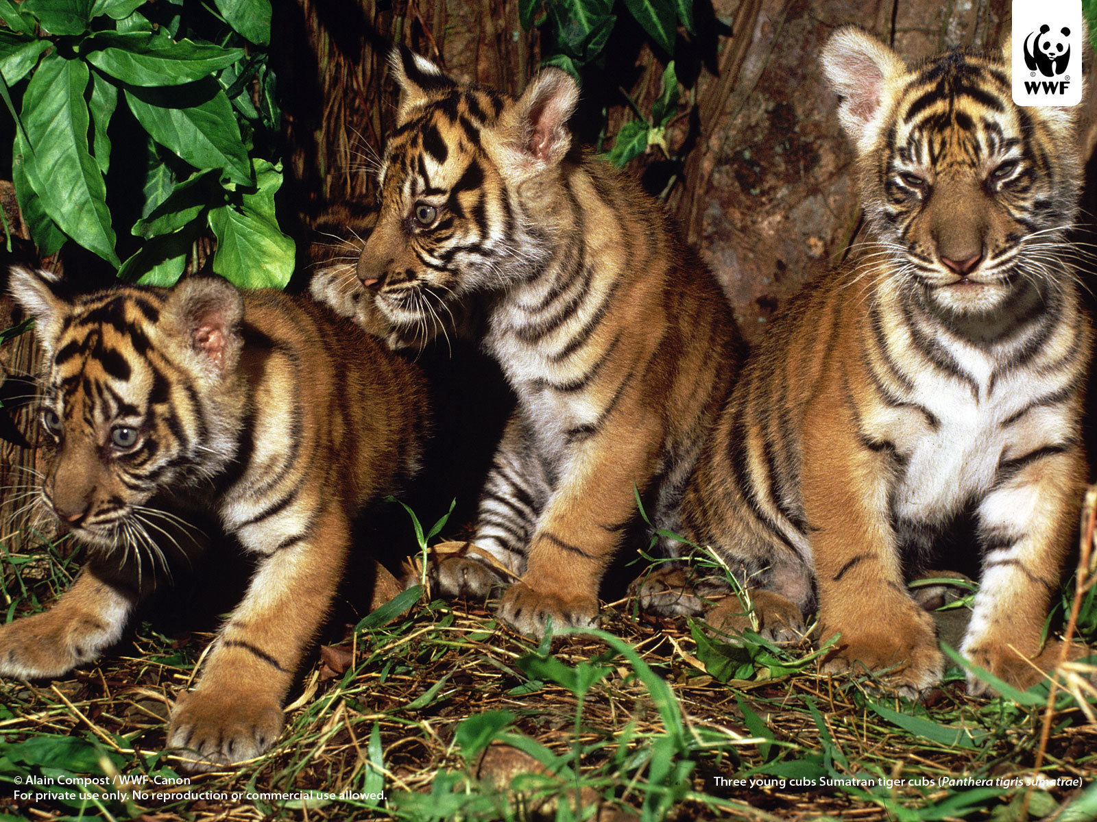 Tigerrs