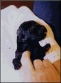 Two Day Old Giant - giant-schnauzer photo