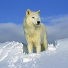 white lobo