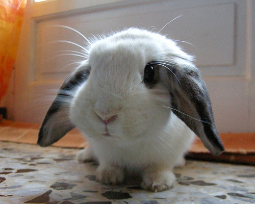 Black and White Lop Eared - lop-eared-rabbits Photo