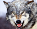 Growling serigala