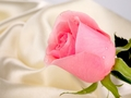 Pink Rose for Princess