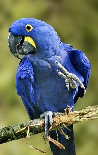 Hyacinth ara, macaw