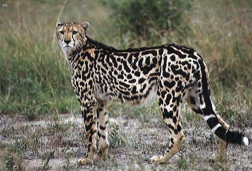 Leo animal form