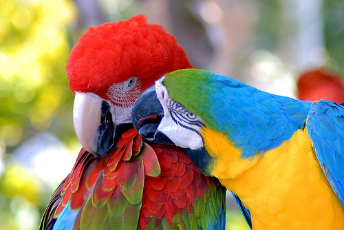 Red-and-green ara, macaw and Blue-and-yellow ara, macaw