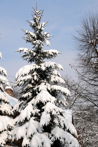 conifers in winter