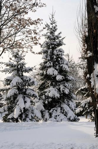 conifers in winter