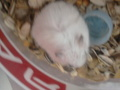 hamster - hamsters photo