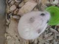 میں hamster, ہمزٹر