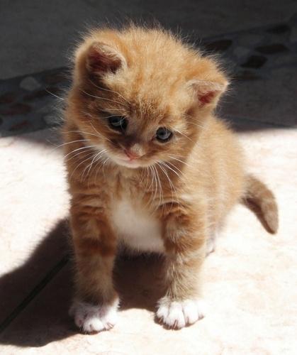 jeruk, orange kitten