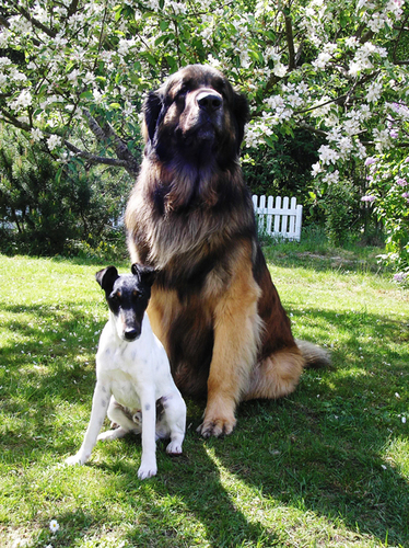 Atlas the Leonberger and friend