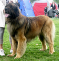 Atlas the Leonberger