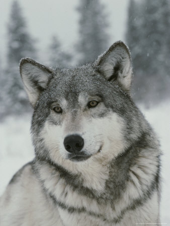 Beautiful wolf