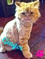 Ginger (: - fanpop-pets photo