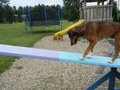 MosesAgility - dog-agility photo