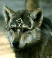 Real Wolf Link - wolves photo