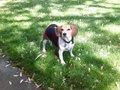 my dog maggie - beagles photo