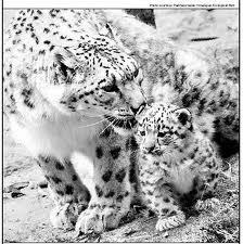 Snow leopard adult and cub