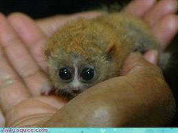 This Bush Baby Looks Exactly Like Mort - Penguins of ...