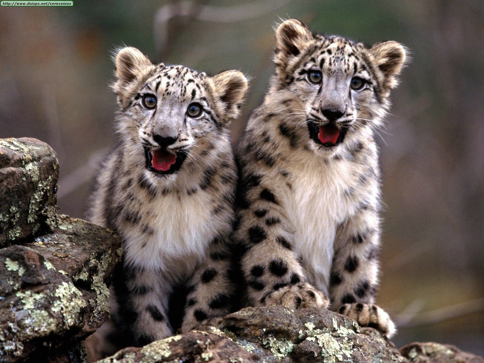 snow leopards images two snow leopard cubs hd wallpaper and