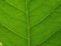 Green leaf close-up - green photo