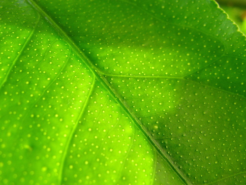 Green wallpaper entitled lemon leaf close-up