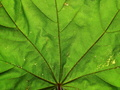 Mapple leaf close-up