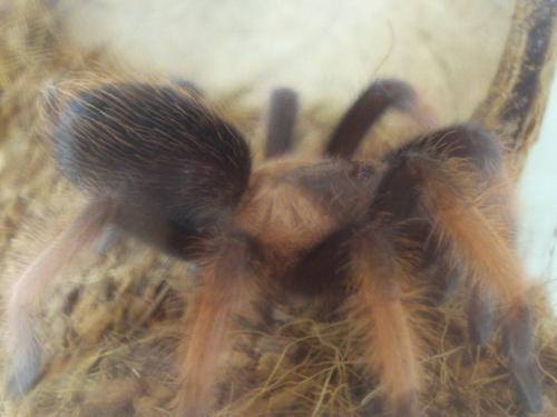 một giống nhện, tarantula - Brachypelma emilia