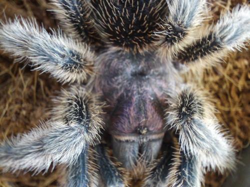 một giống nhện, tarantula - Grammostola formosa