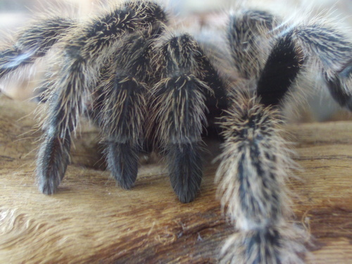 Tarantula - Grammostola formosa - arachnology Photo