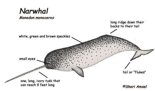 A Diagram of a Narwhal!