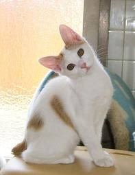 Japanese Bobtail Kitten - cute-kittens Photo