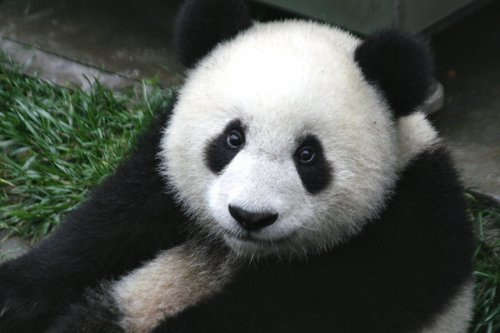Pandas wallpaper entitled More Pandas!