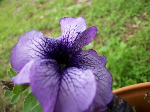Purple bulaklak