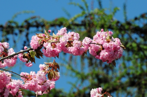 árbol blossoms
