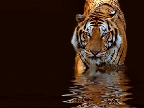 Beautiful Nature Wallpaper Possibly Containing A Tiger Cub Bengal And Animals