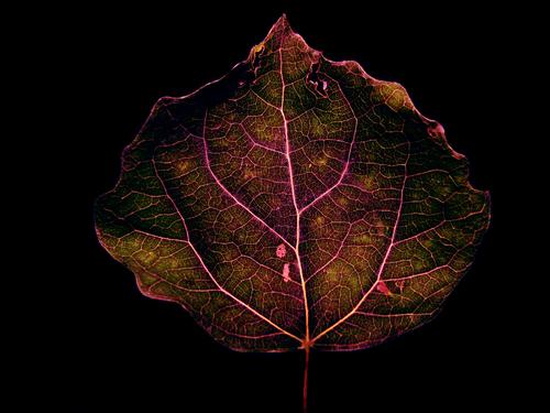 Large-leaved 青柠, 石灰 leaf