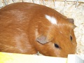 Mary - guinea-pigs photo