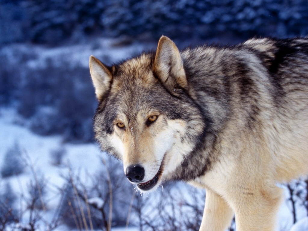 wolf wallpaper yorkshire - photo #3