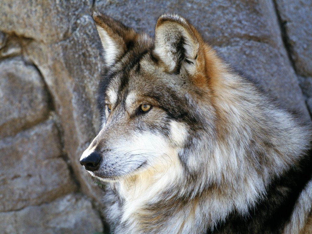 wolf wallpaper yorkshire - photo #5