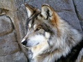 Wolf Wallpaper - yorkshire_rose wallpaper