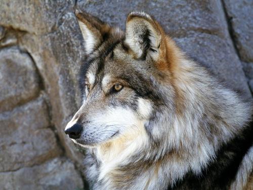 狼, オオカミ 壁紙